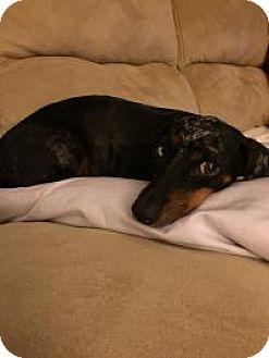 Dachshund Dog for adoption in Marlton, New Jersey - Annie