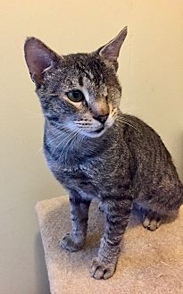 Domestic Shorthair Cat for adoption in Novato, California - Reggie