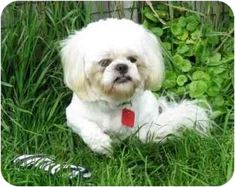 Shih Tzu Dog for adoption in Ile-Perrot, Quebec - Coco