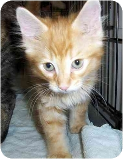 Domestic Longhair Kitten for adoption in Overland Park, Kansas - Lanny