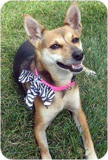 Basenji/Terrier (Unknown Type, Small) Mix Dog for adoption in Overland Park, Kansas - J.J.