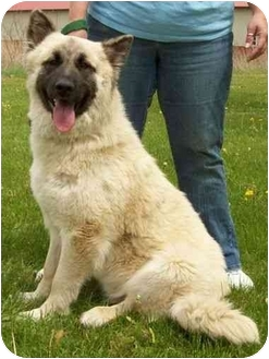 German Shepherd Dog/Chow Chow Mix Dog for adoption in North Judson, Indiana - Dudley