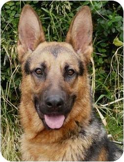 German Shepherd Dog Dog for adoption in Los Angeles, California - Darcy von Hariton