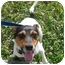 Photo 3 - Rat Terrier Mix Dog for adoption in Homestead, Florida - Templeton