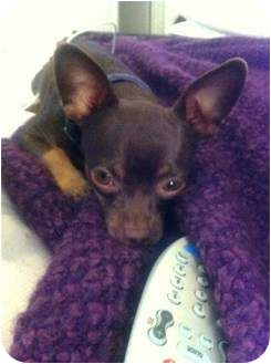 Chihuahua Mix Dog for adoption in Lake Forest, California - Pepe