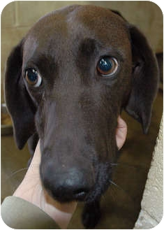 Labrador Retriever/Redbone Coonhound Mix Dog for adoption in Ripley, Tennessee - Dovey  (1511)