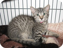 Domestic Shorthair Kitten for adoption in Shelton, Washington - William