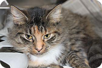 Maine Coon Cat for adoption in HARRISONVILLE, Missouri - Skittles