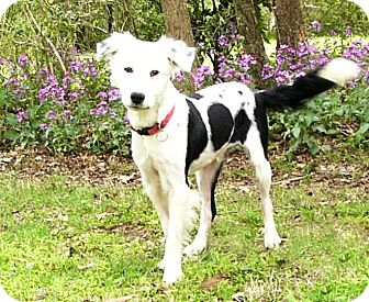 Australian Shepherd/Border Collie Mix Dog for adoption in Mocksville, North Carolina - Dundee