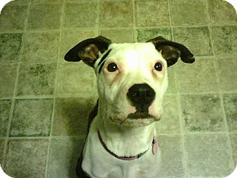 American Pit Bull Terrier Mix Dog for adoption in Dayton, Ohio - (Courtesy Post) Skylar