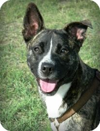 Pit Bull Terrier Mix Dog for adoption in Cheyenne, Wyoming - Ginger