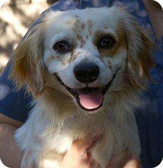 Cocker Spaniel/Spaniel (Unknown Type) Mix Dog for adoption in Sacramento, California - Freckles