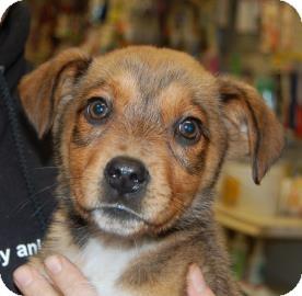 Shepherd (Unknown Type) Mix Puppy for adoption in Brooklyn, New York - Leonardo