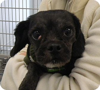 Poodle (Toy or Tea Cup)/Lhasa Apso Mix Dog for adoption in Sandusky, Ohio - MAGIC