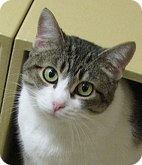 Domestic Shorthair Cat for adoption in Tulsa, Oklahoma - Luzianne