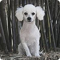 Adopt A Pet :: Lady - North Palm Beach, FL