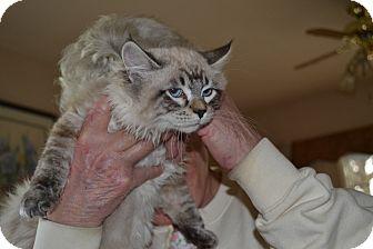 Siamese Kitten for adoption in Kelso/Longview, Washington - Sidney