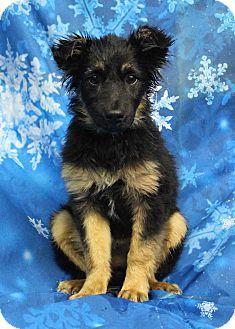 Australian Shepherd/Shepherd (Unknown Type) Mix Dog for adoption in Westminster, Colorado - Onion