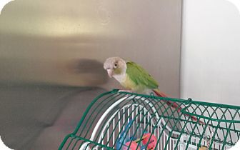 Conure for adoption in Independence, Kentucky - Nibbles