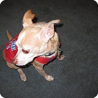 Adopt A Pet :: Bentley - st peters, MO