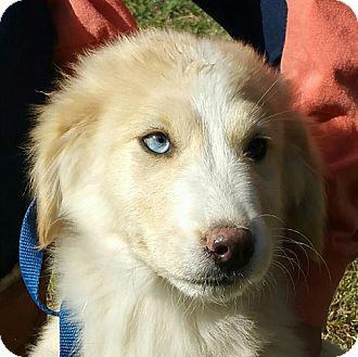 German Shepherd Dog/Collie Mix Puppy for adoption in Staunton, Virginia - Zoya