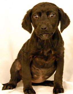 Labrador Retriever Mix Puppy for adoption in Newland, North Carolina - Nirvana