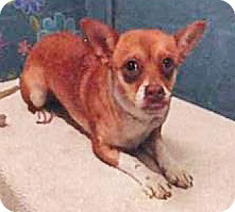 Chihuahua/Jack Russell Terrier Mix Dog for adoption in Spokane, Washington - Bugley
