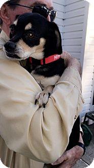Beagle/Pug Mix Dog for adoption in Brick, New Jersey - Nina