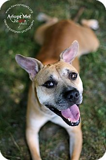 American Pit Bull Terrier/Staffordshire Bull Terrier Mix Dog for adoption in Lyons, New York - Izzy