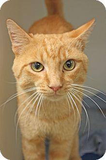 Domestic Shorthair Cat for adoption in Harrisonburg, Virginia - Julius