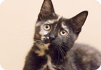 Domestic Shorthair Kitten for adoption in Chicago, Illinois - Georgie Girl