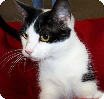 Domestic Shorthair Kitten for adoption in Walnut Creek, California - Gloria