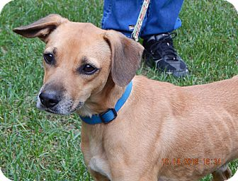 Beagle/Retriever (Unknown Type) Mix Dog for adoption in Williamsport, Maryland - Voyager(22 lb) Sweetest Ever!