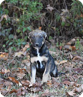 Shepherd (Unknown Type) Mix Puppy for adoption in South Dennis, Massachusetts - Razzy