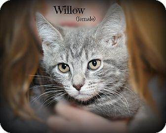 Domestic Shorthair Kitten for adoption in Glen Mills, Pennsylvania - Willow