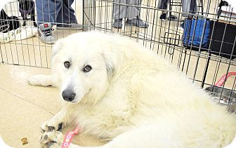 Great Pyrenees Dog for adoption in Smithtown, New York - Hootie