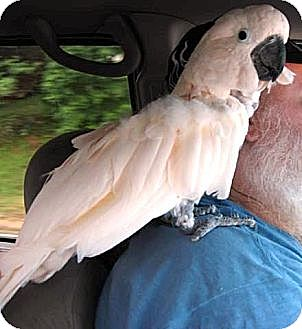 Cockatoo for adoption in Lenexa, Kansas - Ziggy