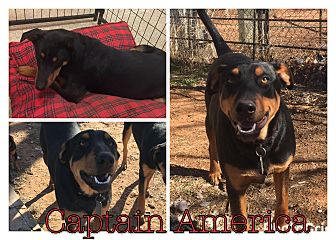 Doberman Pinscher/Shepherd (Unknown Type) Mix Dog for adoption in Midland, Texas - Captain America