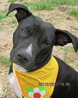 Labrador Retriever/Pit Bull Terrier Mix Dog for adoption in Boston, Massachusetts - A - LAILLA