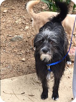 Terrier (Unknown Type, Small) Mix Dog for adoption in Morgan Hill, California - Dusty