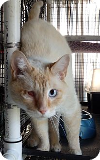 Domestic Shorthair Cat for adoption in Speedway, Indiana - Redbeard