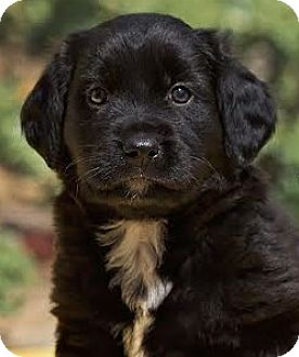 Flat-Coated Retriever Mix Puppy for adoption in Cincinnati, Ohio - Shadow