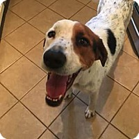 Adopt A Pet :: Scout - Charlotte, NC