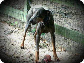 Doberman Pinscher Dog for adoption in Houston, Texas - Scout