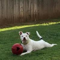 Adopt A Pet :: Bolt - Wichita Falls, TX