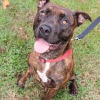 Mixed Breed (Large) Mix Dog for adoption in Columbus, Georgia - Dukes 9186