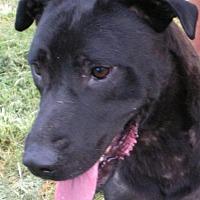 Labrador Retriever Mix Dog for adoption in Tuskegee, Alabama - Bruce