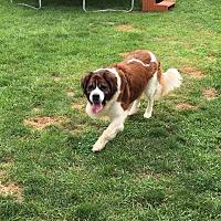 Adopt A Pet :: Bernie - Pataskala, OH