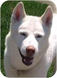 Husky Dog for adoption in Kokomo, Indiana - Aspen