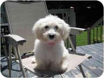 Bichon Frise/Maltese Mix Puppy for adoption in Nanuet, New York - Ginny